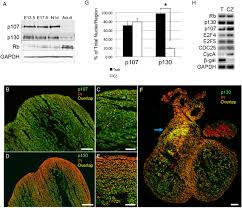 pocket proteins critically regulate cell cycle exit of the