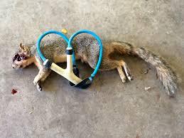 squirrel pest control the slingshot community forum