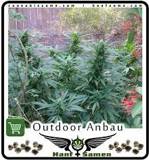 cannabis im garten cannabisanbau im garten cannabis