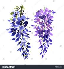 watercolor wisteria flower background drawn nature stock