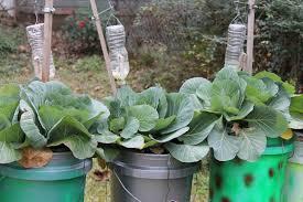 handy gardener grows buckets of produce louisiana blooms
