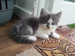 gorgeous maine coon kittens for sale greenford middlesex