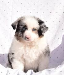australian shepherd yorkie mix for sale mini australian shepherd puppies for sale lancaster puppies
