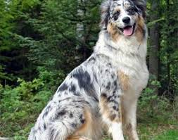 australian shepherd kid friendly australian shepherd animals a z animals