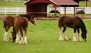 Budweiser Clydesdale Barn Getting Cozy With Clydesdales In St Louis Off The Beaten Page