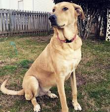 afghan hound and labrador retriever chinook dog breed information pictures characteristics u0026 facts