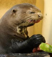 Cumberbatch Otter Meme - red scharlach points at interesting things otters that look like
