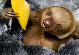 17 sloths that look how you feel on thanksgiving huffpost