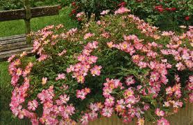 drift roses buy pink drift ground cover online garden goods direct