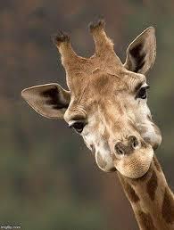 Meme Giraffe - giraffe face meme generator imgflip