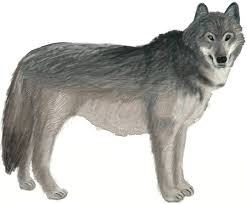 how to draw a wolf draw step by step