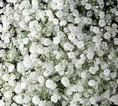 baby s breath baby s breath excellence jr roses wholesale flowers