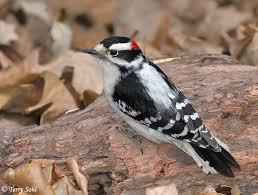 North Dakota Birds images Downy woodpecker south dakota birds and birding jpg