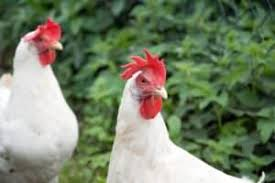 5 of the best egg laying chicken breeds u2013 iheartanimals com