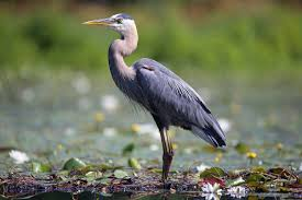 heron meaning what is a wading bird
