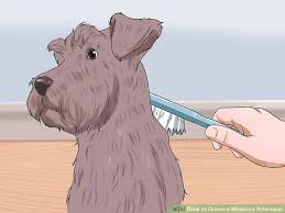 How to Groom a Miniature Schnauzer 13 Steps with