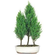 bald cypress grove care