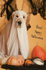 Ghost Dog Halloween Costumes by Boo Funny Dog Dressed Like A Ghost For The Halloween Funny Pet
