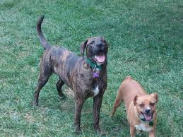 boxer dog with full tail happy tails new life boxer rescue