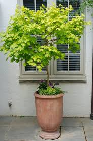 Indoor Decorative Trees For The Home Best 25 Trees In Pots Ideas On Pinterest Potted Trees Indoor