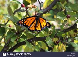 up of a monarch butterfly with wings spread resting in