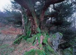in pictures scotland u0027s top 10 heritage trees scotland now