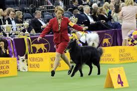 belgian sheepdog youtube belgian sheepdog from east longmeadow named best of breed at