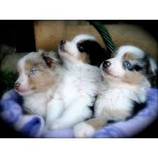 australian shepherd breeders near me best 25 mini aussie for sale ideas on pinterest aussie puppies