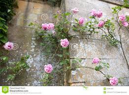 climbing pink rose stock photos image 33345403
