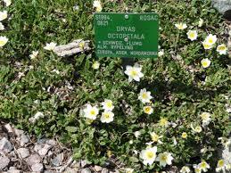file dryas octopetala copenhagen botanical garden dsc07460 jpg