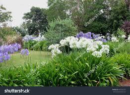 wild garden panorama white blue agapanthus stock photo 442132237