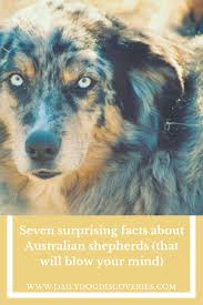 australian shepherd 1 year seven surprising facts about australian shepherds dog discoveries