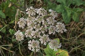 file november flowers hogweed cow parsnip geograph org uk