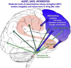 Part Of Brain That Controls Arousal The Effects Of Stress Exposure On Prefrontal Cortex Translating