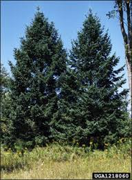 douglas fir tree isu forestry extension tree identification douglas fir