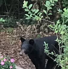 buford couple spots bear in backyard news gwinnettdailypost com
