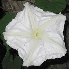 moon flowers moonflowers blooming plants dengarden