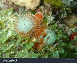 christmas tree plume worm dead coral stock photo 712127059