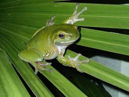 green tree frog australian museum