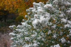 native new england plants true colors 9 best shrubs for fall foliage gardenista