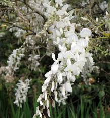 The Most Fragrant Plants - most fragrant wisterias