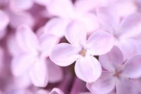 wallpaper syringa lilac flower spring macro petals desktop