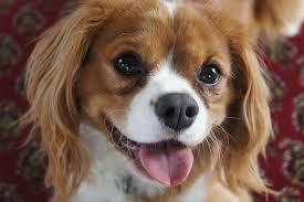 australian shepherd dog names 15 fun dog names inspired by the french u2013 iheartdogs com
