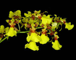 oncidium orchid grow and care oncidium orchid orchid golden