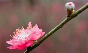 delaware state flower peach blossoms are the state flower of delaware and fun is the