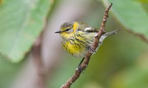 Canopy Birds by Cape May Warbler Birds Of North America Online