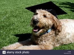 dog graduation cap goldendoodle dog with graduation cap stock photo 141985799 alamy