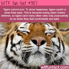 how tigers show happiness facts facts