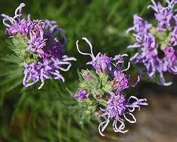 texas native plant society liatris makes a useful landscape plant native plant society of texas