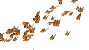 monarch butterflies flock video clip 000459767 pond5